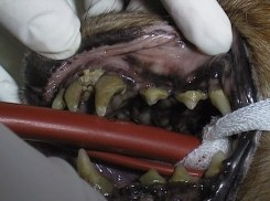 Hund Zahn Zustand