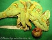 Chammäleon Calyptratus | Tierarztpraxis-Hanau.de
