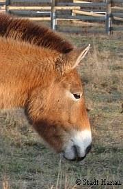 Przewaslki-Pferd Adina gestorben | Tierarztpraxis-Hanau.de