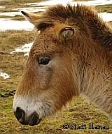 Przewalski Wilfpferd | Tierarztpraxis-Hanau.de