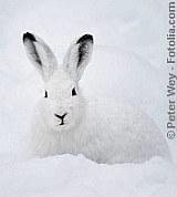 Schnee-Hase | Tierarztpraxis-Hanau.de