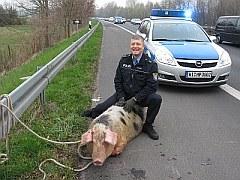 Polizei stellt eine trächtige Sau sicher! | Tierarztpraxis-Hanau.de