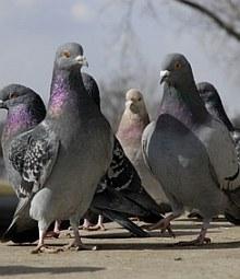 Tauben können zum Problem werden|  Tierarztpraxis-Hanau.de