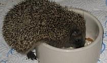 Igel - Fütterung - Pflege | Tierarztpraxis-Hanau.de
