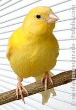 Kanarienvogel | Tierarztpraxis-Hanau.de