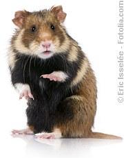 Der Hamster und die Irrtümer ..  | Tierarztpraxis-Hanau.de