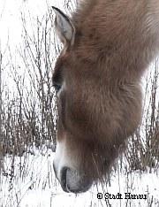 Przewalski-Pferde in Hanau   | Tierarztpraxis-Hanau.de