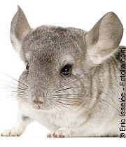 Chinchillas | Tierarztpraxis-Hanau.de