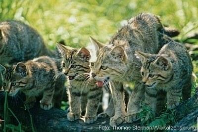 Wildkatzen  | Tierarztpraxis-Hanau.de