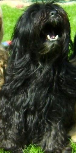 Tibet Terrier Hündin Bonny vermisst | Tierarztpraxis-Hanau.de