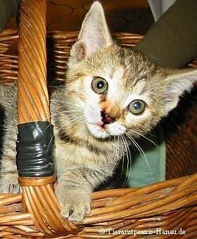 Getigertes Katzenbaby sucht neues Zuhause | Tierarztpraxis-Hanau.de