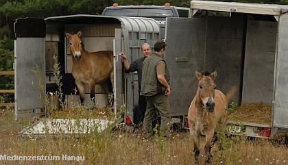 Die ersten scheuen Blicke - die Urwildpferde sind angekommen |  Tierarztpraxis-Hanau.de